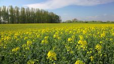 Rape Field Canola In Summer 1080p Royalty Free Stock Photography