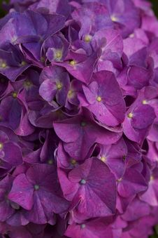 Changing Hydrangea Stock Images