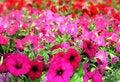 Free Colorful Petunias Close-up Stock Photo - 35523110