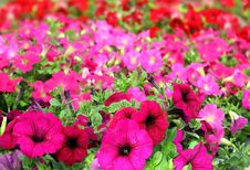 Free Colorful Petunias Close-up Stock Photo - 35523110