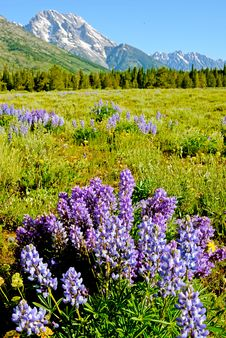 Free Purple Lupine Bloom At The Base Of A Snow Covered Mountain. Royalty Free Stock Images - 35527419