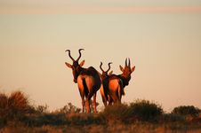 Free African Antelope Sunset Royalty Free Stock Photos - 35528488