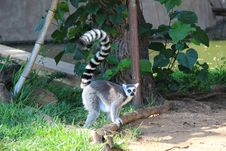 Free Lemur Royalty Free Stock Photo - 35528505