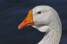 Free White Goose Portrait Royalty Free Stock Photography - 35528737