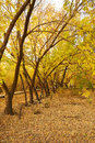 Free The Golden Leaves And Fallen Leaves Royalty Free Stock Image - 35532756