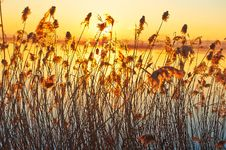 Free The Reeds Sunrise Stock Photo - 35532420