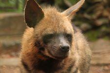 Free Hyena Stock Images - 35532934
