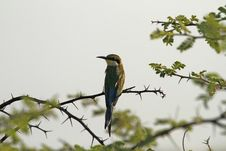 Free European Bee-Eater Royalty Free Stock Photography - 35535007