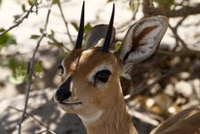 Free Head Study Of A Steenbok Antelope Royalty Free Stock Photo - 35535625