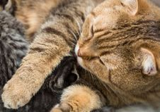 Free Mother Cat Licking Little Kitten Stock Photography - 35535882
