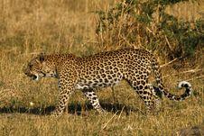 Free Beautiful Big Cat Stock Image - 35535981