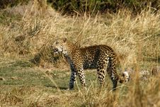 Free Felidae Panthera Pardus Royalty Free Stock Photography - 35536267