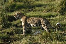Free Leopard Panthera Pardus Stock Photo - 35536600