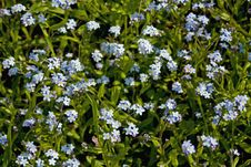 Free Forget-me-not Stock Images - 35537054
