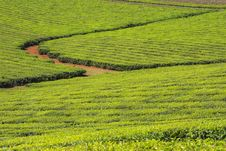Free Tea Plantation Royalty Free Stock Images - 35539799