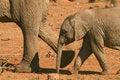 Free Baby Elephant Loxodonta Africana Stock Images - 35543864