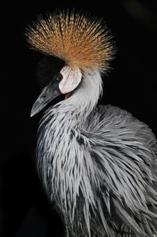 Grey Crowned Crane Balearica Regulorum Stock Photo