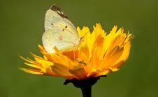 Free Clouded Sulphur On Tickseed Flower Royalty Free Stock Images - 35541819