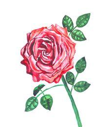 Free Rose Stock Photos - 35543123