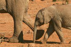 Baby Elephant Loxodonta Africana Stock Images