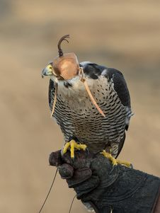 Free Resting Falcon Royalty Free Stock Images - 35546999