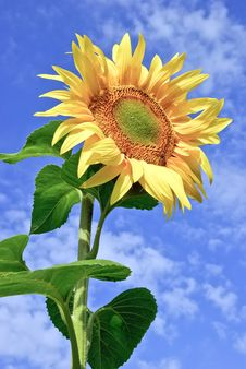 Free Young,ripe Sunflower On The Background Of  Blue Sky Royalty Free Stock Photo - 35552445