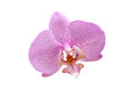 Free Orchid On White Royalty Free Stock Image - 35562046