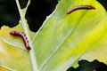 Free Caterpillar And A Chewed Leaf Royalty Free Stock Photo - 35562375