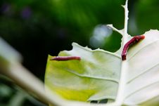 Free Caterpillar And A Chewed Leaf Royalty Free Stock Photography - 35562207