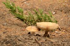 Free Two Mushrooms Grow In Sandy Soil Stock Photo - 35563350