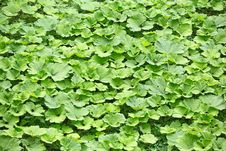Background From Lot Of Burdock Leaves Royalty Free Stock Image