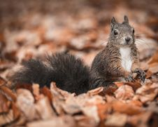 Free Squirrel Royalty Free Stock Image - 35566366