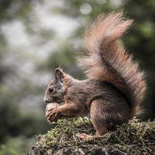 Free Squirrel Stock Photos - 35567213