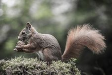 Free Squirrel Royalty Free Stock Photo - 35567385