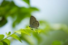 Free Grey Hairstreak Butterfly On A Leaf Royalty Free Stock Image - 35576436