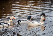 Free Domestic Ducks In A Pond Stock Photos - 35597483