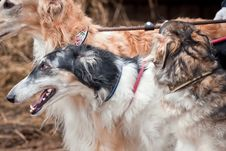 Free Borzoi Dogs On Hunting Royalty Free Stock Photography - 35597487