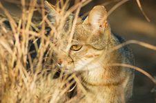 Free African Wild Cat Felis Silvestris Stock Photo - 35599300