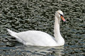 Free White Mute Swan In Pond Stock Photos - 3568393