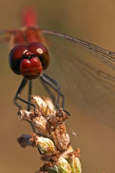 Free Red Dragonfly Stock Photo - 3560690