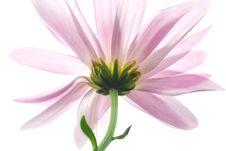 Free Pink Aster Royalty Free Stock Image - 3561826