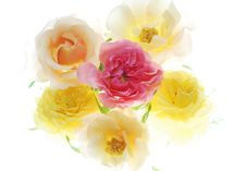 Free Rose Stock Photos - 3561923