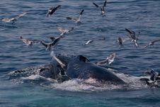 Humpback Whale/Megaptera Novae Stock Photo