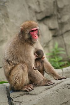Free Shy Monkey Stock Images - 3562164
