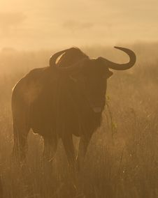 Free Wildebeest Royalty Free Stock Photography - 3562667