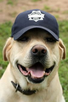 Free Labrador In A Cap Royalty Free Stock Images - 3565919