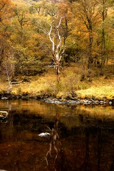 Free A Autumn Reflection Of A Tree, Glen Lyon,Scotland,UK. Stock Image - 3567311