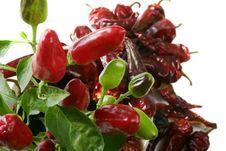Free Chili Plant Stock Image - 3567481