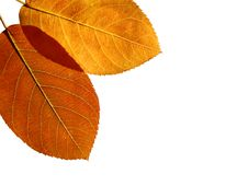Free Two Beautiful Colored Leaves Royalty Free Stock Photos - 3567948