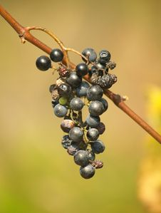 Free Cluster Of Wild Grapes Royalty Free Stock Image - 3568166